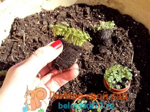 Посев и уход за рассадой