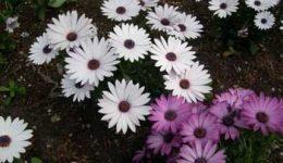 Остеоспермум: выращивание из семян в домашних условиях. Виды и сорта с фото