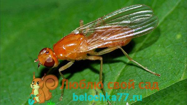Описание морковной мухи (фото)