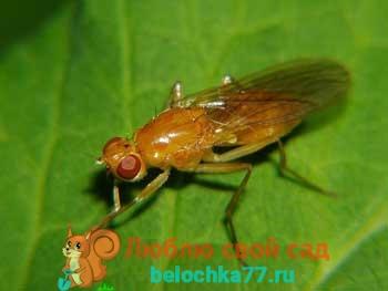 Морковная муха, как с ней бороться. Описание морковной мухи с фото