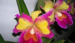 Орхидея Каттлея – уход в домашних условиях. Виды и сорта с фото