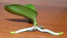 Как размножить орхидею в домашних условиях: цветоносом, детками
