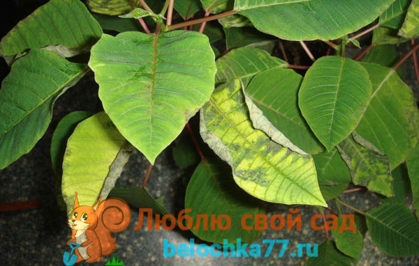 Почему желтеют и опадают листья