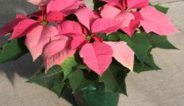 Пуансетия: уход в домашних условиях за Рождественской звездой. Популярные сорта