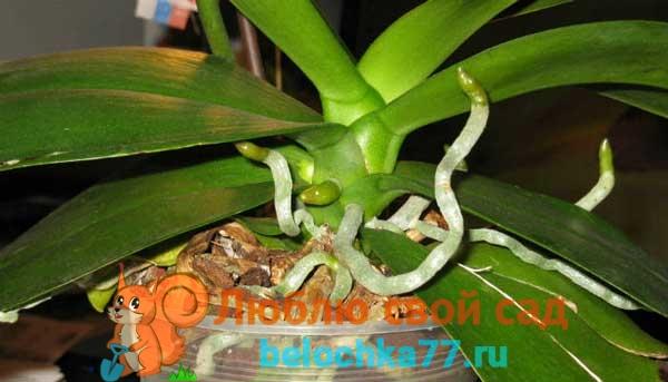 Почему цветут корни орхидеи?