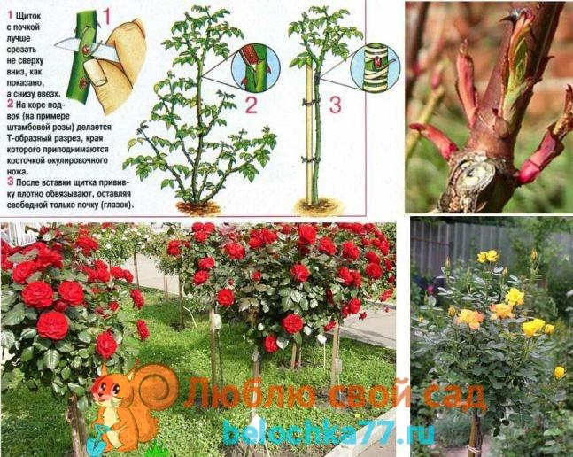 Прививаем розу на штамб