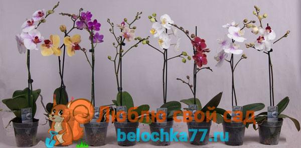 На что обратить внимание при выборе орхидеи