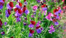 Душистый горошек – выращивание из семян, когда сажать. Виды и сорта