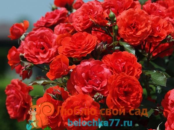 Зачем прививать розы