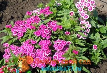 Турецкая гвоздика - выращивание из семян, когда сажать. Виды и сорта с фото