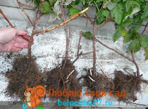 Подготовка малины к пересадке