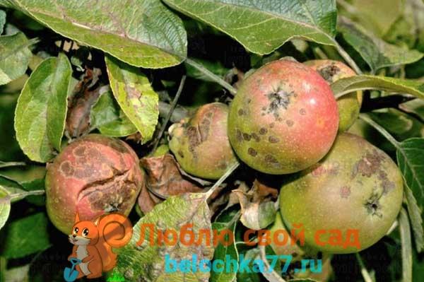 Как яблоня заражается паршой