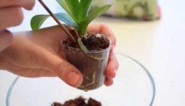 Как пересадить орхидею в домашних условиях: пошагово с фото и видео