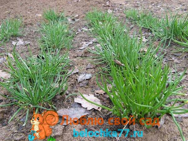Выращивание шнитт-лука