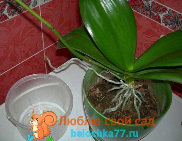 Подготовка цветка к пересадке в новый горшок
