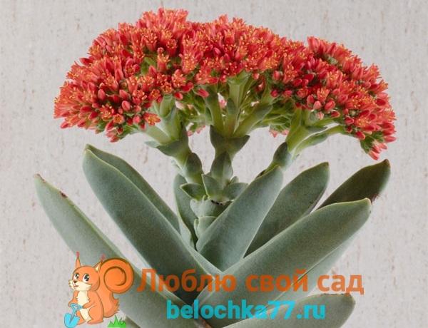 Толстянка пронзеннолистная (C. perfoliata)