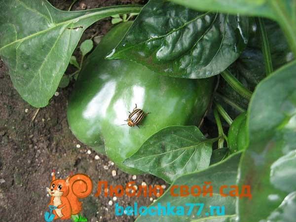 Колорадский жук – опасный сосед для перца