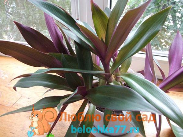 Комнатный цветок рео – описание rhoeo