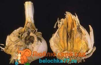 Болезни и вредители чеснока, и борьба с ними. Фото болезней и вредителей