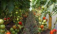 Формирование помидоров для повышения урожая