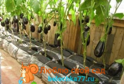 Формирование баклажанов для хорошего урожая. В теплице, в открытом грунте