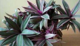 Цветок Рео (фото) – уход в домашних условиях. Виды и сорта рео