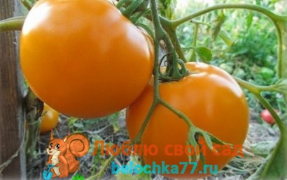 Лучшие сорта желтых томатов