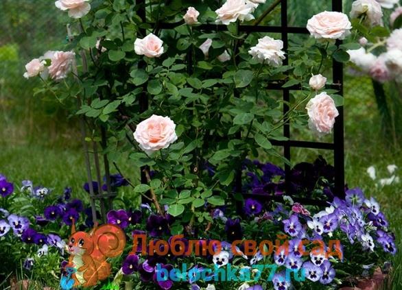 Можно ли высокорослые бархатцы посадить возле роз?