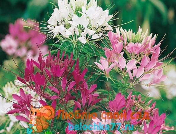 Сорт клеомы Цветной фонтан