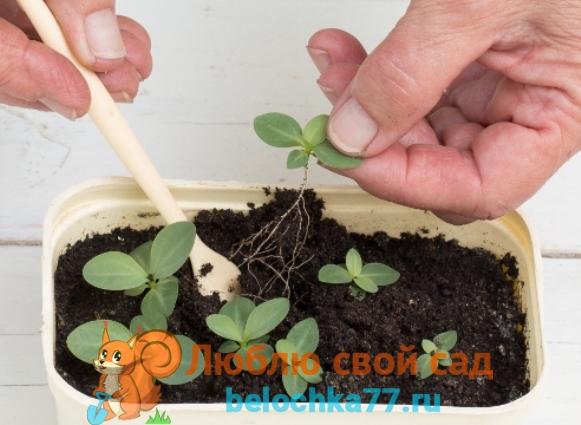 Выращивание рассады эустомы из семян