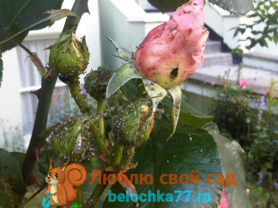 Вредители розы с фото и описанием