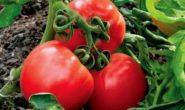 Сорта помидоров, устойчивые к фитофторе: описание, характеристика, фото, отзывы