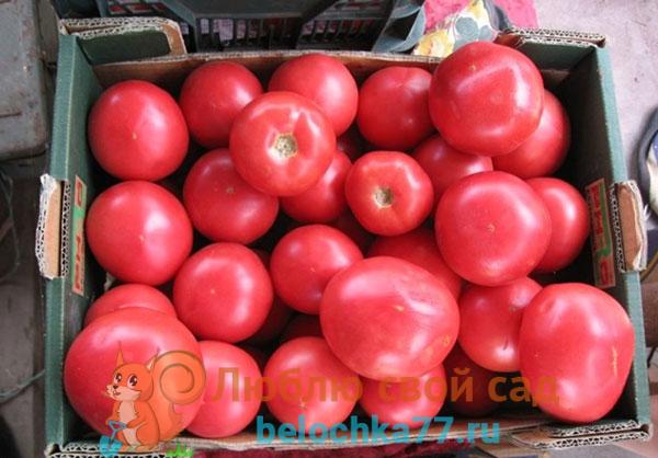 Особенности выращивания и ухода за розовыми томатами
