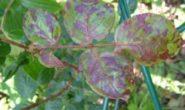Вредители роз, фото, описание, как лечить