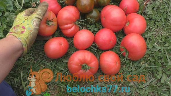 Лучшие сладкие сорта розовых томатов