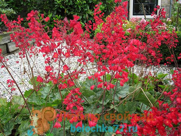 Кроваво-красная (H.sanquinea Engelm) или коралловый (красный) колокольчик