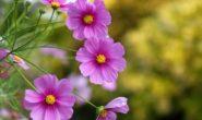Космея – выращивание из семян, когда сажать. Виды и сорта с фото
