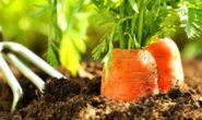 После чего сажать морковь. Что сажать после моркови?