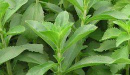 Стевия — выращивание в домашних условиях из семян. Полезные свойства
