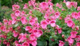 Диасция – выращивание из семян, когда сажать