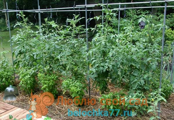 Какая почва и условия для выращивания нужны помидорам?
