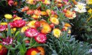 Гелихризум — выращивание из семян, когда сажать. Разновидности с фото