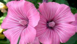 Лаватера – выращивание из семян, когда сажать. Виды и сорта