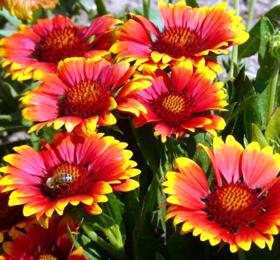 Гайлардия остистая Gaillardia aristata Arizona Sun