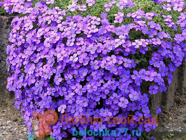 Описание цветка