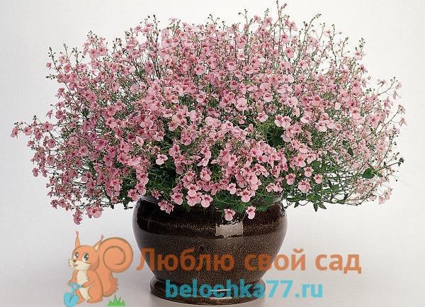диасция лаванда розовый Lavender Pink