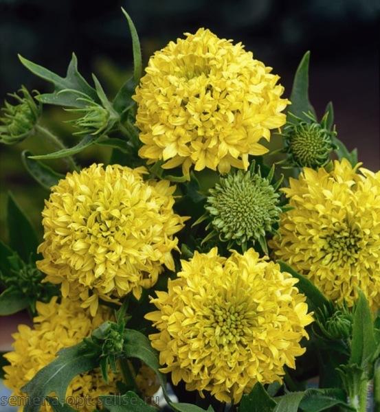 Гайлардия красивая Yellow Plume