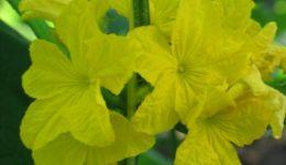 Пчелоопыляемые огурцы: как выбрать урожайный гибрид
