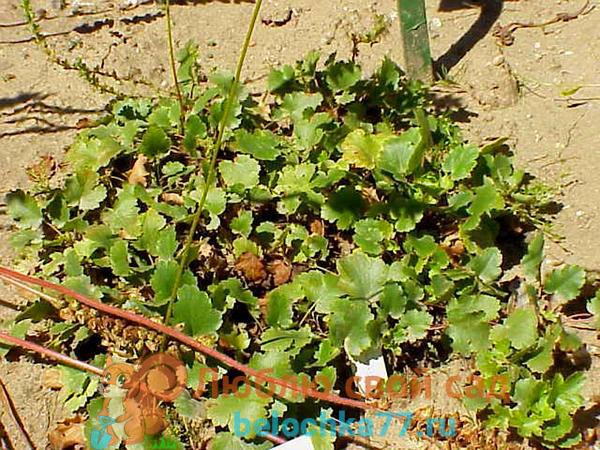 Крыжовниковолистная (H. grossulariifolia)