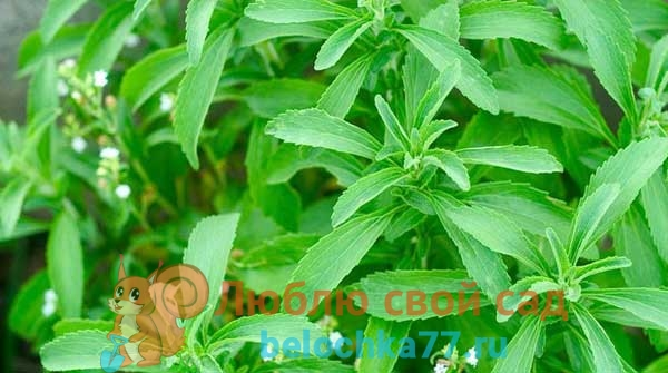 Условия для выращивания стевии